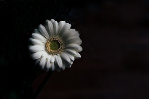 Home. One big daisy dark background